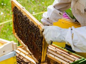 apicultura pentru incepatori