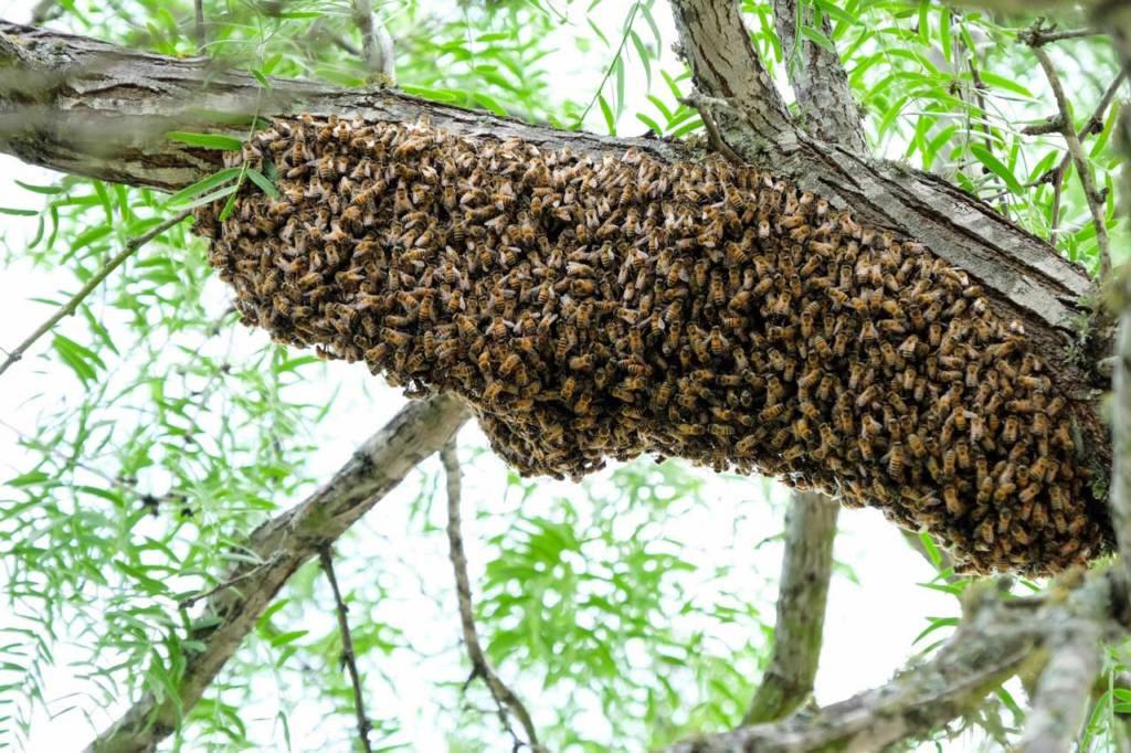 furam mierea de la albine